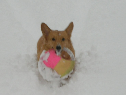 ['A dog carries a pink and beige ball in the snow. ', ' A dog playing with a toy in the snow. ', ' A dog standing in the snow holding a frisbee in its mouth. ', ' A dog playing with a toy in the snow ', ' A dog is playing with a toy in the snow']