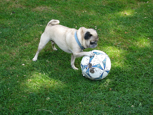 ['A small dog standing over a soccer ball. ', ' a dirty little pug plays with a ball outside ', ' A small dog is playing with a soccer ball. ', ' A dog is playing with a ball in a park. ', ' A pug dog with its paw on a soccer ball on field.']