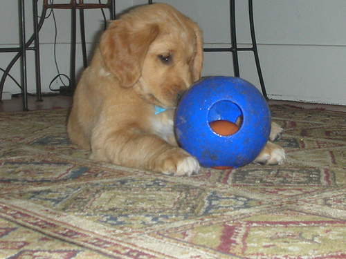 ['A dog laying on a floor with a blue ball. ', ' A puppy laying down playing with a blue ball.  ', ' A brown dog playing with a blue ball toy. ', ' A small puppy is playing with a blue ball. ', ' A brown dog playing on the floor with a ball']