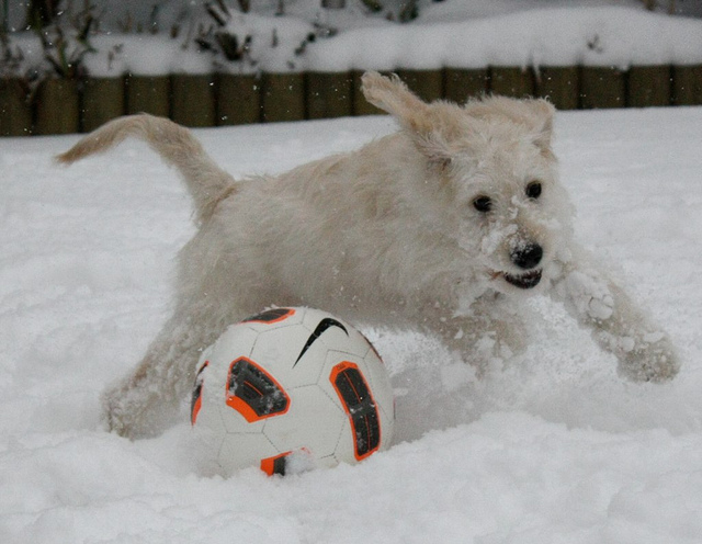 ['A white dog in snowy yard playing with a soccer ball. ', ' a dog plays with a soccer ball in the snow ', ' White fuzzy dog plays with the soccer ball in the snow ', ' A dog runs and jumps in the snow ', ' A white dog running through the snow next to a ball.']